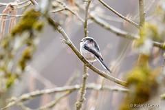 Schwanzmeise 4 (rgr_944) Tags: vögel vogel bird oiseau tiere animaux animals natur outdoor canoneos80deos7dmk2eos5dmk4 rgr944 tier animal wildlife