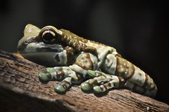 Amphibious Portrait (tim.perdue) Tags: amphibious portrait frog toad amphibian closeup animal nature newport aquarium kentucky cincinnati ohio macro eye green brown striped pattern nikon d7200 nikkor 18140mm tree