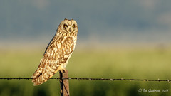 Short-eared Owl (Bob Gunderson) Tags: depthoffield sierravalley asioflammeus birds california dysonlane northerncalifornia owls plumascounty shortearedowl sierras