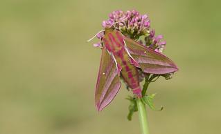 Elephant Hawk Moth (Deilephila elpenor).