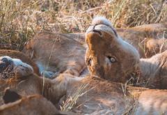 Lion Family (Niklas H. Braun) Tags: animal lion hippo animalbaby nature wildlife south africa expedition adventure safari cub lioness prey hunt manyeleti kruger national park np travel