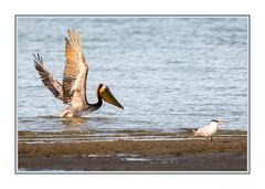 I see lunch! (JohnKuriyan) Tags: alameda california elsie roemer bird sanctuary brown pelican caspian tern