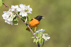 ''Odeur florale!'' Oriole de baltimore (pascaleforest) Tags: oiseau bird animal nikon nature passion wild wildlife faune québec canada fleur flower
