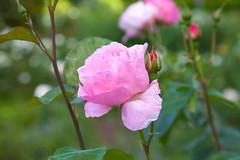 """Roses are Pink"" (Adam Swaine) Tags: pinkgreen pink roses petals macroworld macro nature naturelovers gardens rosegardens peckehamryepark londonparks london seasons summer beautiful canon uk england english britain british swaine 2018"