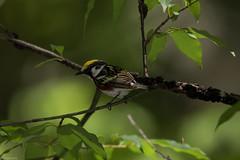 Chestnut Sided Warbler (grobinette) Tags: chestnutsidedwarbler warbler neotropical limberlosttrail skylinedrive shenandoahnationalpark