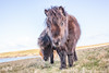 Curious Shetland pony (Renate van den Boom) Tags: 05mei 2018 europa grootbrittannië jaar maand pony renatevandenboom shetland unst zoogdieren