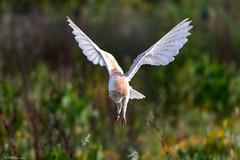 Hovering Barn Owl (Steve (Hooky) Waddingham) Tags: bird british voles vermin nature mice prey wild wildlife owl