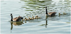 Family outing ............ (Alan Burkwood) Tags: clumberpark nationaltrust nottinghamshire canadageese goslings