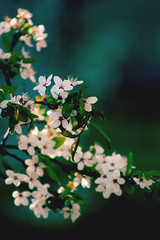 Spring beauty (izzistudio) Tags: flowers buy photography print etsy shop izzistudio canon nature botanical white green spring springtime tree sakura cherry blossom blooming