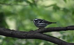 Black-and-white Warbler (hoppedscott) Tags: centralpark nyc new york blackandwhitewarbler warbler mniotiltavaria birding outdoors nature