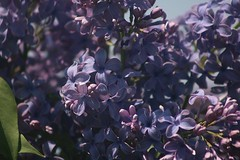 Lilacs Blooming In Front Yard 019 (Chrisser) Tags: flowers lilacs shrubs syringavulgaris oleaceae nature ontario canada canoneosrebelt6i canonef75300mmf456iiiusmlens gardening garden fourseasons spring closeups