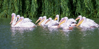 Pelican convention | SONY ⍺7III & EF200/2.8L II USM on Metabones T Mark V