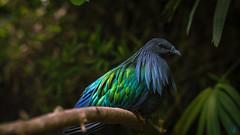 Caloenas -Espagne (Nik2o) Tags: f18 rare shadow ombre lumière light green vert vertgreen blue bleu full couleur plume feather park art sigma d7500 nikon animal oiseau bird pigeon nicobar nikonflickraward nik2o