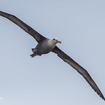 Galapagos Albatross (Waved Albatross) 500_3276.jpg