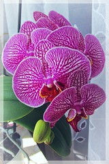 purple orchid :) (green_lover (your COMMENTS are welcome :))) Tags: orchid orchids flowers smileonsaturday preciospurple home frame
