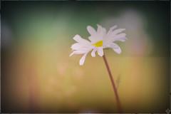 DSC01197-Modifier (mortelette.david) Tags: jupiter37a jupiter37a135mmf35 jupiter vintagelens sovietlens manuallens 12blades sony sonya7ii sonyilce7m2 a7ii bokeh dof profondeurdechamp flou blur fleur flower extérieur marguerite m42