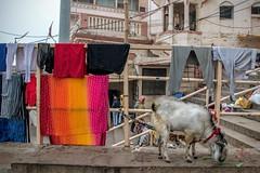 The Goat and the Laundry (shapeshift) Tags: urban laundry rawphoto rawphotography rawformat raw goat kashi banaras benares cityanimals citygoat urbananimals animalsinthecity dashashwamedh dashashwamedhghat davidpham davidphamsf shapeshift shapeshiftnet ghatsofindia ghat ghats ghatsofvaranasi varanasi uttarpradesh india in southasia asia documentary storiesofindia indiastories
