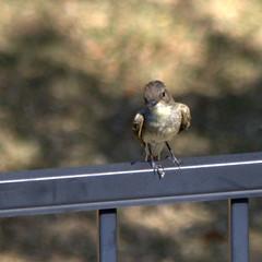 Eastern Phoebe (austexican718) Tags: texas native fauna centraltexas hillcountry bird backyard animal wildlife garden beyondbokeh