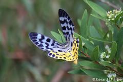 Dysphania malayanus (GeeC) Tags: animalia arthropoda butterfliesmoths cambodia dysphania dysphaniamalayanus geometridae geometrinae geometroidea inchwormmoths insecta kohkongprovince lepidoptera nature tatai
