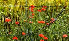 Insolite décor (Diegojack) Tags: echandens vaud suisse d7200 printemps plantes fleurs coquelicots chaine insolite
