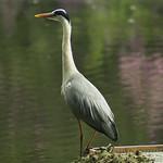 Heron - Royden Park