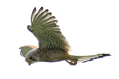 "kestrel • <a style=""font-size:0.8em;"" href=""http://www.flickr.com/photos/157241634@N04/28804980108/"" target=""_blank"">View on Flickr</a>"