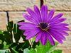 African Daisy - Osteospermum (trumpygirl) Tags: osteospermum africandaisy flowers
