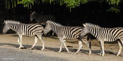 Zebras - 06091801 (Klaus Kehrls) Tags: zebras tiere pferde zoo hagenbek