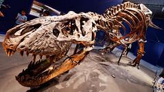 Trix (Livith Muse) Tags: dinosaure tyrannosaure squelette trix trex paris îledefrance france fra panasonic714mmf40 lumixgvario714f40 muséumdhistoirenaturelle mnhn jardindesplantes dent mâchoire lumix panasonic 7mm g80 os crâne