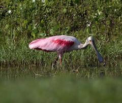 Roseate Spoonbill (robertemond) Tags: canont6 spoon pink animal bird marshlands wader elements roseatespoonbill