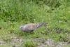 Turtle Dove-212 (davidgardiner8) Tags: birds otmoor oxfordshire pigeons turtledove