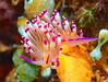 Nudibranch (Sea Slug)- Coryphellina rubrolineata (oceanzam) Tags: muck scuba diving diver ocean sea shore beach animal nature light dark shadow color colorful nudibranch philippines travel holiday aquatic agua water underwater