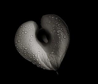 Wet Calla (Tribute to Gustave Corbet)