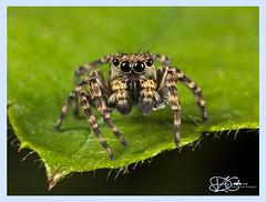 B57I6803-Jumping-Spider,-Sitticus-pubescens (duncancooke.happydayz) Tags: jumping spider spiders macrolife