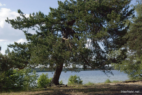 Шацький Національний Природний Парк Озеро Пісочне Сосни InterNetri  Ukraine 363