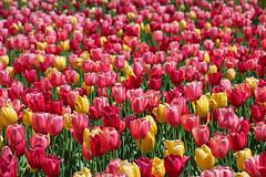 Rock Garden Walk Tulips (TomIrwinDigital) Tags: tulips spring rockgarden rbgblooms rbg royalbotanicalgarden burlington ontario bright colour
