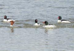 Common Merganser (casparc) Tags: 2018 duck merganser commonmerganser bird