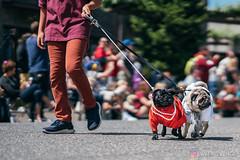 PugCrwal-168 (sweetrevenge12) Tags: portland oregon unitedstates us pug parade crawl brewing sony pugs dog pet