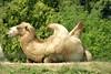 Toronto Zoo (Tiger_Jack) Tags: toronto canada torontozoo zoo zoos zoosofnorthamerica itazoooutthere camel camels