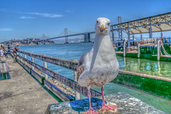 Bird With Bridge (Michael F. Nyiri) Tags: seagull bird sanfrancisco embarcadero pier california northerncalifornia