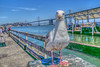 Bird With Bridge (Michael F. Nyiri) Tags: seagull bird sanfrancisco embarcadero pier california northerncalifornia