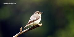 IMG_1988 Asian Brown Flycatcher (Muscicapa dauurica) (vlupadya) Tags: greatnature aves fauna indianbirds asian brown flycatcher muscicapa kundapura karnataka