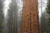 Forest Giant (stochastic-light) Tags: landscape tree forest grove sequoia redwood giantforest generalsherman sequoianationalpark nps nationalparkservice sierranationalforest sierranevada cloud fog mist rain ca california nikon d810 zeiss carlzeiss zf2 milvus1450 milvus50 hiking nature