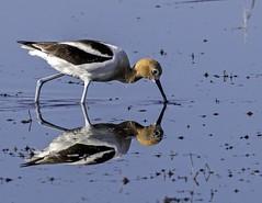 Avocet (begineerphotos) Tags: avocet americanavocet bird wadingbird shorebird wading walking pond marsh water reflection bill beak franklake alberta friendlychallenges beginnerdigitalphotographychallengewinner 15challengeswinner