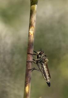 Dysmachus cochleatus f. 2068