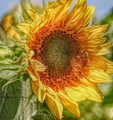 The black throated wind whispering sin (Kathryn Louise18) Tags: canon kathrynlouise florida macro mims bees sunflowers yellowflowers petals gratefuldeadlyrics bobweir johnbarlowlyrics floral garden