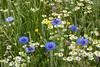 Korenbloem (Centaurea cyanus ) - West-Zeeuws-Vlaanderen - The Netherlands (wietsej) Tags: korenbloem centaurea cyanus westzeeuwsvlaanderen the netherlands sony rx10 iv rx10m4 flower nature