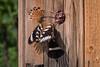 Wiedehopf (Upupa epops) beim Füttern seiner Jungen (AchimOWL) Tags: wiedehopf vogel bird natur nature wildlife outdoor kaiserstuhl lumix panasonic gh5 rackenvogel zugvogel weinberge weinberg tier hornvogel hopf bucerotiformes wiedehopfe upupa hoopoe dudek fauna grille brut maulwurfsgrille holz jungvögel
