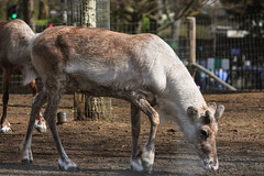 Reindeer (Josiedurney) Tags: zoo londonzoo camdenzoo camden london animals enclosure spring summer 2018 city uk captialcity england adventure fun beautiful amazing wildlife portraits outside naturallight daylight reindeer horns hooves fur beige brown white eating sniffing mammal santa christmas real deer