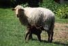 Family time (dididumm) Tags: sheep garden meadow spring offspring lamb white brown braun weiss lamm nachwuchs frühling wiese garten schaf familie rip nickrudi rudi